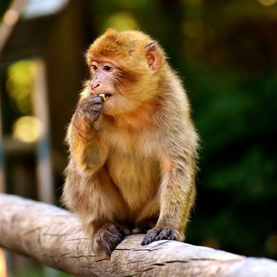 Affe-Affenpark-Salem